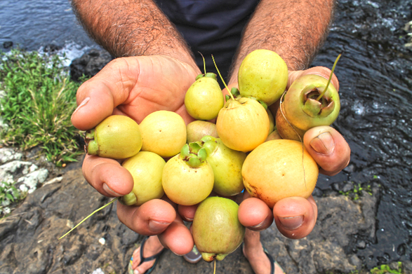 Fruit : Jamrosat ou Jam-rose du Jambrosade, fruit de la Réunion